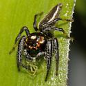 Thiodina sylvana - Colonus sylvanus - male