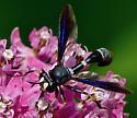 Wasp ID - Physocephala tibialis
