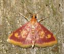 mint-loving pyrausta moth (Pyrausta acrionalis) - Pyrausta acrionalis