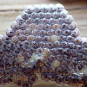 Henry's Marsh Moth/Cattail Caterpillar Moth (Simyra insularis)  - Acronicta insularis