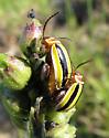 Alticines mating - Kuschelina floridana - male - female