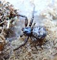 Coriarachne? 1 - Bassaniana utahensis