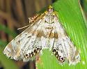 Feather-edged Petrophila 2 - Petrophila fulicalis