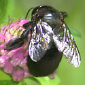 Large Bee - Xylocopa micans