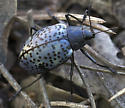 Blue Beetle - Gibbifer californicus