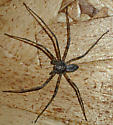 Running Crab SK 28 - Philodromus vulgaris - male