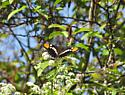 Black butterfly with orange spots on wing tips. - Adelpha californica