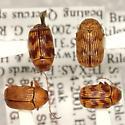 Cryptocephalus implacidus R. White  - Cryptocephalus implacidus