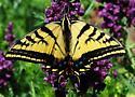Papilio canadensis ? - Papilio multicaudata - female