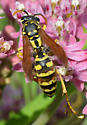 wasp with pollinia - Polistes dominula