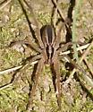 Wolf Spider - Rabidosa