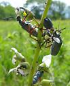 Blister Beetle - Lytta sayi