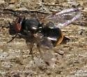 fly - Euxesta notata - female
