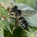 Leafcutter - M.Mendica? - Megachile mendica - male