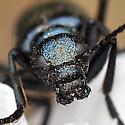 Meloid possibly Linsleya sphaericollis - Linsleya sphaericollis