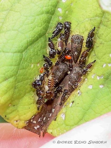Entylia carinata adults with larvae? - Publilia concava