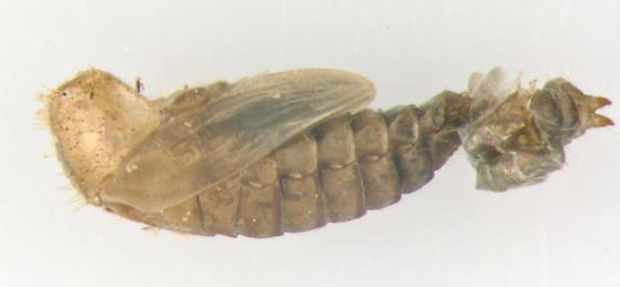 Phalacridae, spent pupa - Acylomus pugetanus