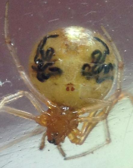 Holly Cobweb - Theridion - female