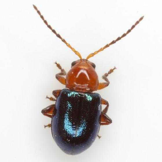 Bernardia Flea Beetle - Syphrea