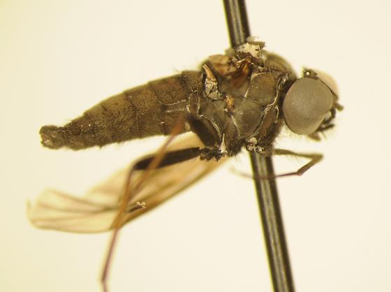 Big-eyed fly - male