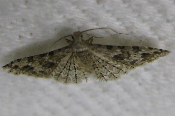 Micro Moth - Alucita adriendenisi