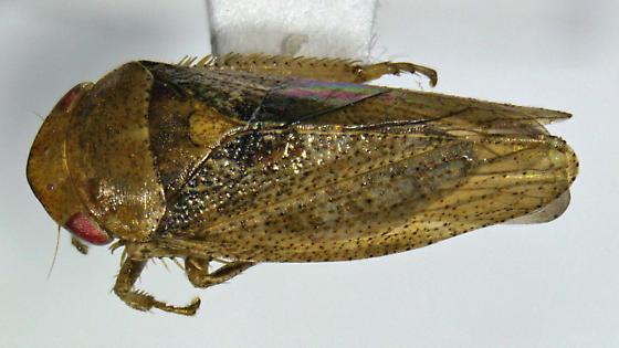 sAZ cicadellid - Dragonana
