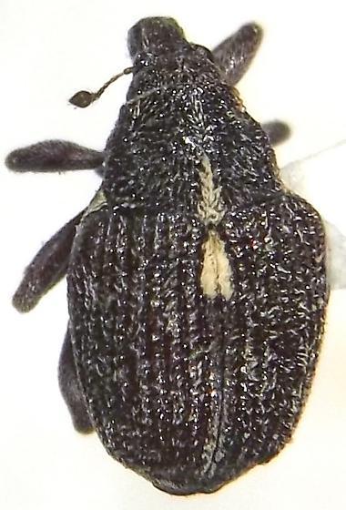Pelenomus triangularis (Say) - Rhinoncus triangularis
