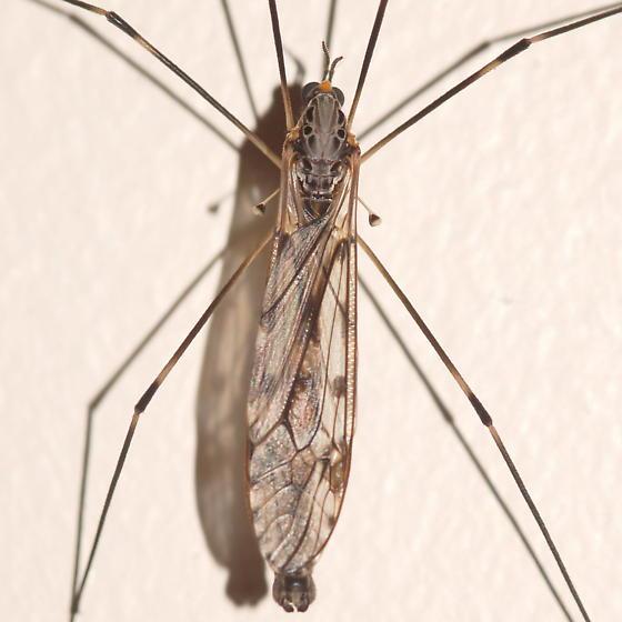 Large crane fly - Tipula abdominalis - male