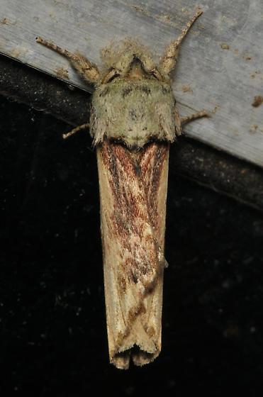 Unicorn moth - Oligocentria semirufescens