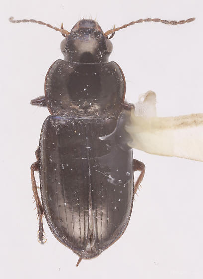 Selenophorus planipennis