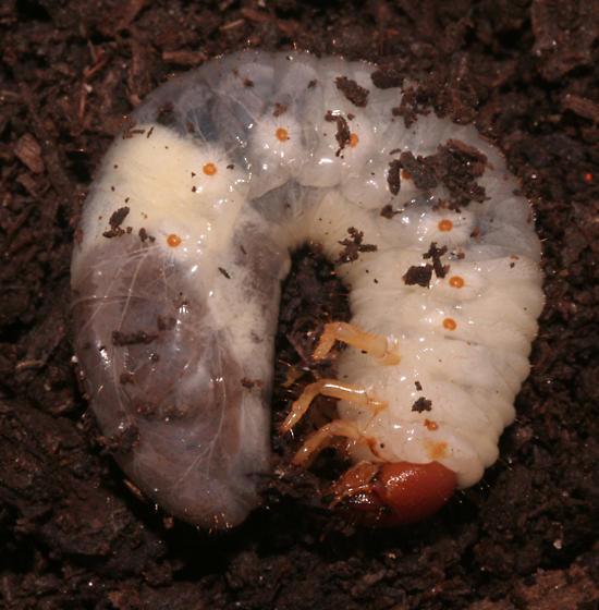 Scarabaeidae - larva - Tomarus relictus
