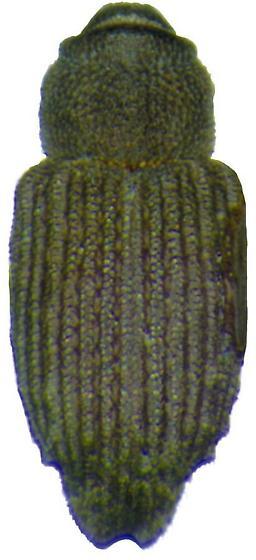 Neobagoidus carlsoni