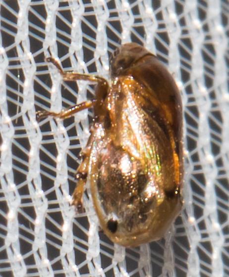 2018-09-07 Small spittlebug - Clastoptera xanthocephala
