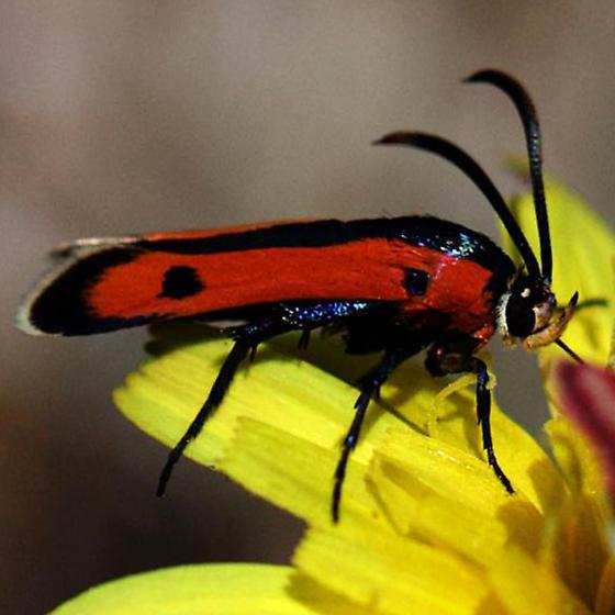 Moth - Orange & Black wings w/ two black spots - Calasesia coccinea