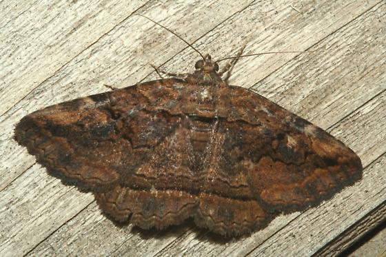 Moth - Zaleops umbrina