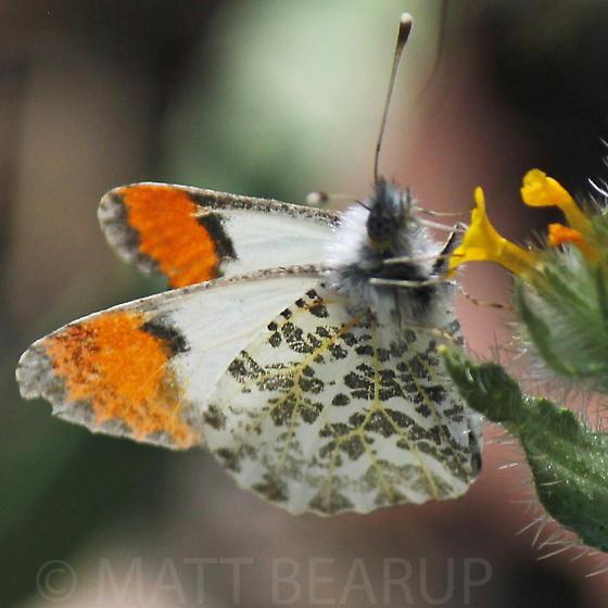 Orange Tip - Anthocharis julia