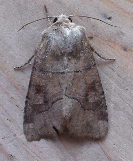 Noctuidae: Crocigrapha normani? - Crocigrapha normani