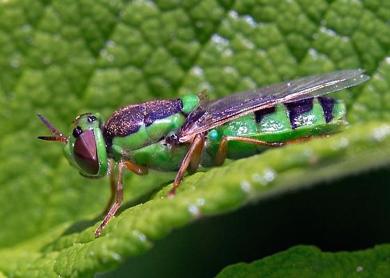 green fly - Odontomyia cincta - female