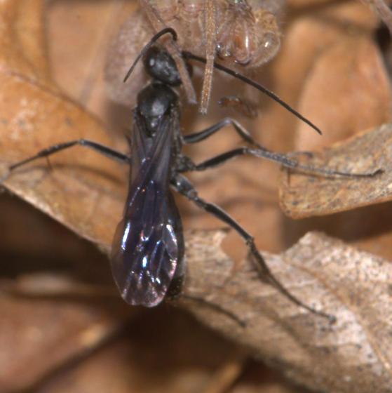 Spider Wasp - Priocnemis minorata - female