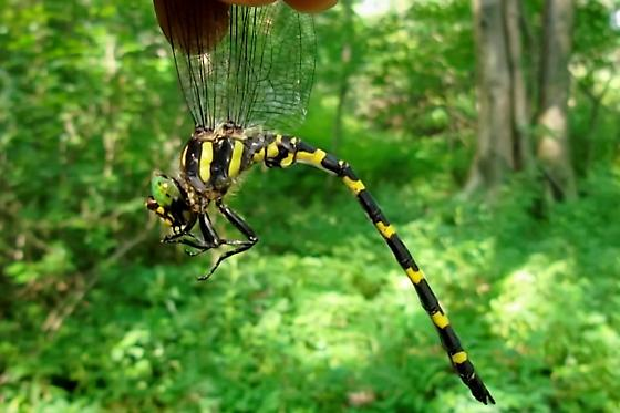 Cordulegaster erronea-Tiger Spiketail - Cordulegaster erronea - male