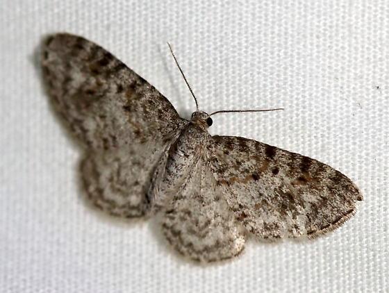 Geometrid Moth - Hydrelia inornata