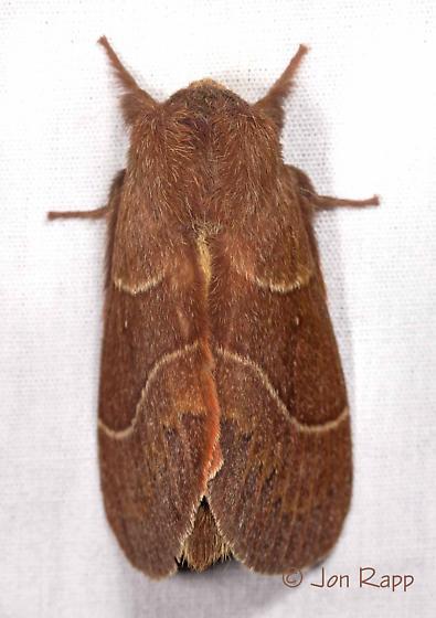 Moth - Dicogaster coronada