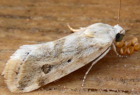 Moth with 2 Spots - Ponometia hutsoni