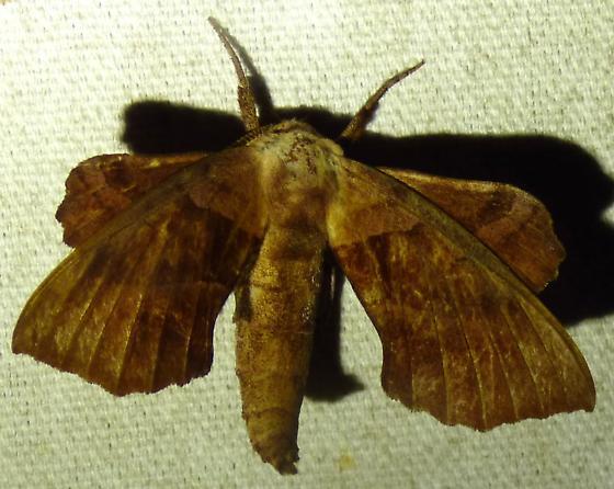Amorpha juglandis - Walnut Sphinx - Amorpha juglandis
