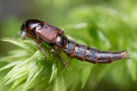 Staphylinidae - Quedius
