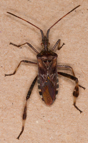Is this Western Conifer Seed Bug, Leptoglossus occidentalis ? - Leptoglossus occidentalis