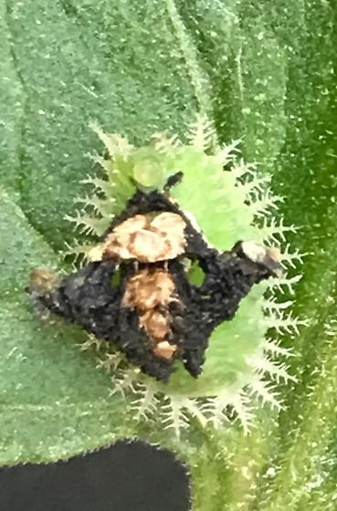 Bug on tomato plant