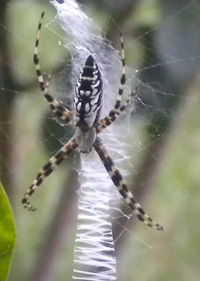 What kind of spider is this?? - Argiope aurantia