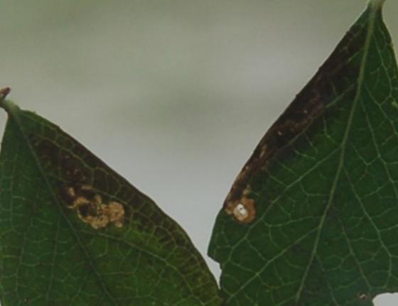 St. Andrews leaf miner on Vaccinium corymbosum SA648 2016 2 - Stigmella corylifoliella