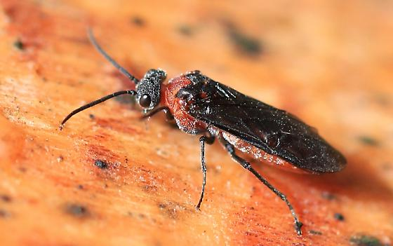 red and black sawfly - Dolerus